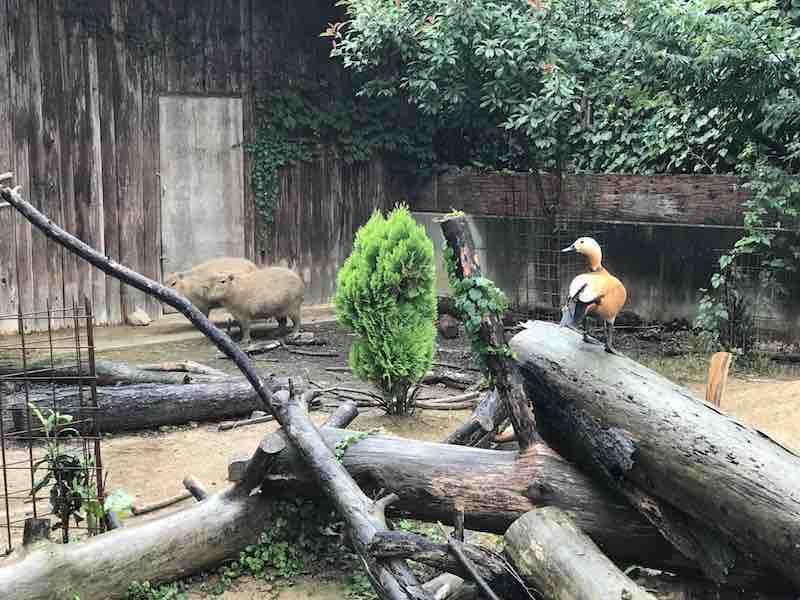 群馬サファリパーク 鴨とカピバラ