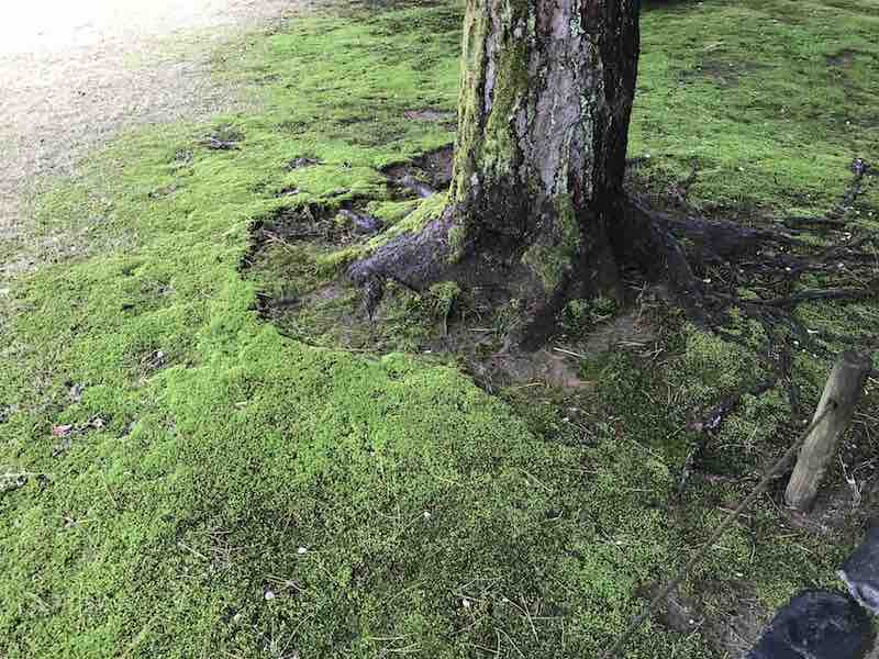 石川県 兼六園の苔