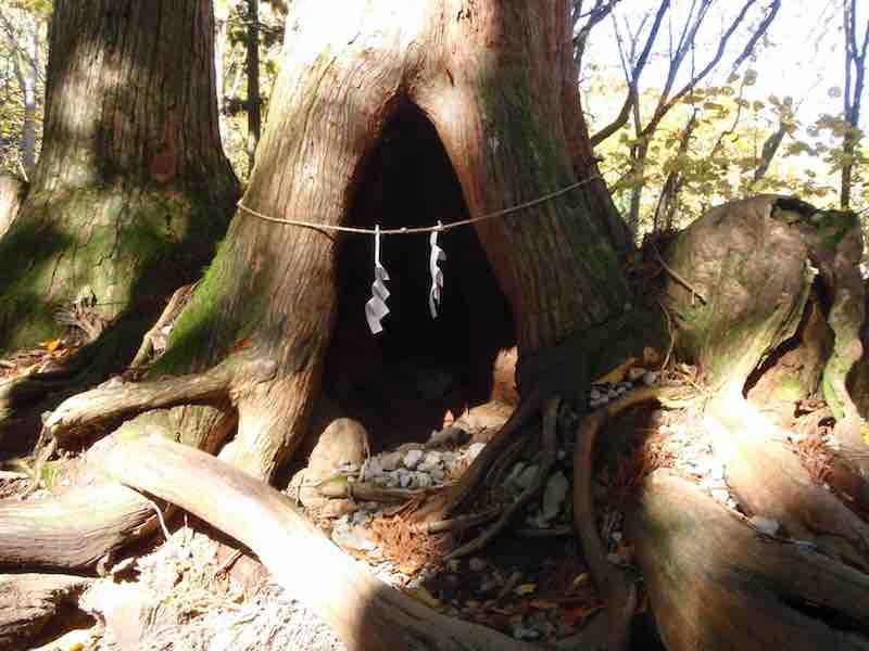 長野県 戸隠の御神木