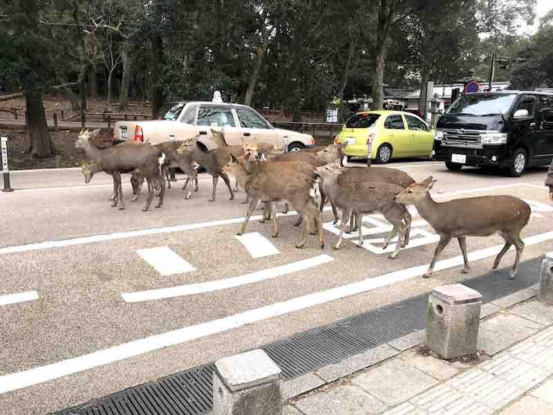 奈良公園の鹿 車道横断中