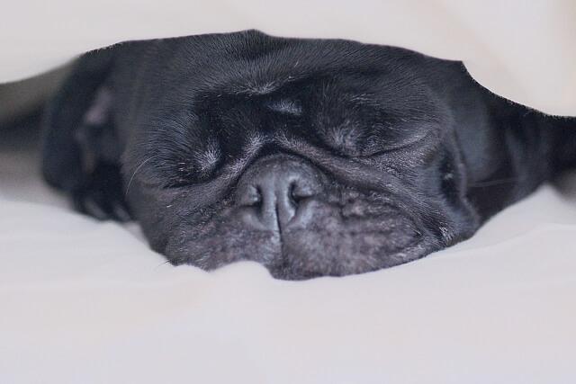ベッドで眠る犬