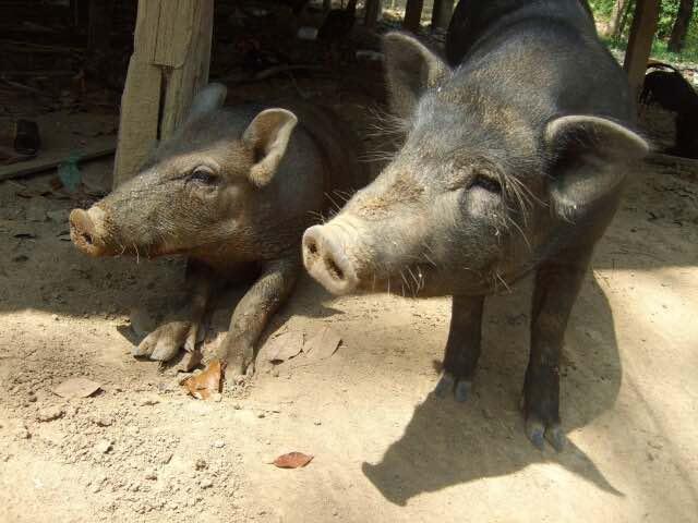 2匹の黒豚